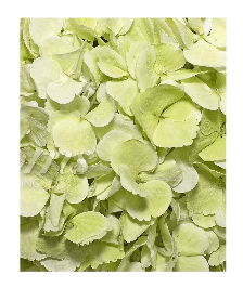 Hydrangeas Kiwi (30 Stems) - Bloomsfully Wholesale Flowers