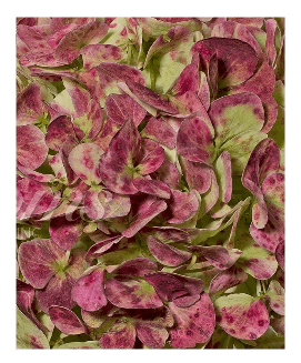 Hydrangeas Antique Red    (16 Stems) - Bloomsfully Wholesale Flowers