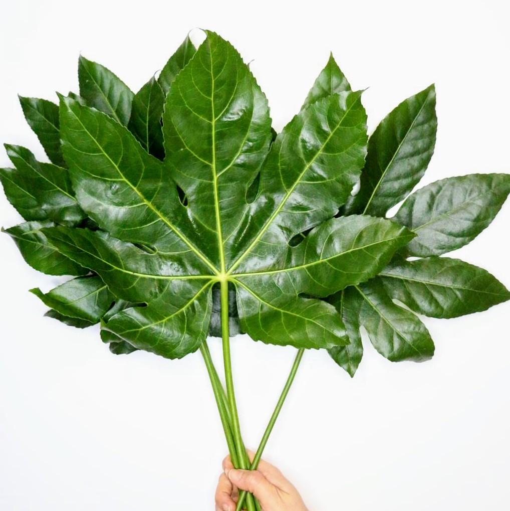 Aralia Foliage - Bloomsfully Wholesale Flowers