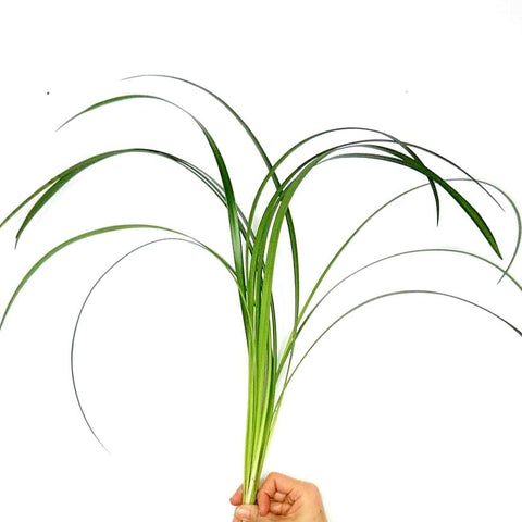 Lily Grass - Bloomsfully Wholesale Flowers