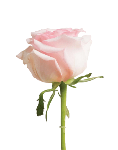 Light Pink Roses (25 Stems per Bunch) - Bloomsfully Wholesale Flowers