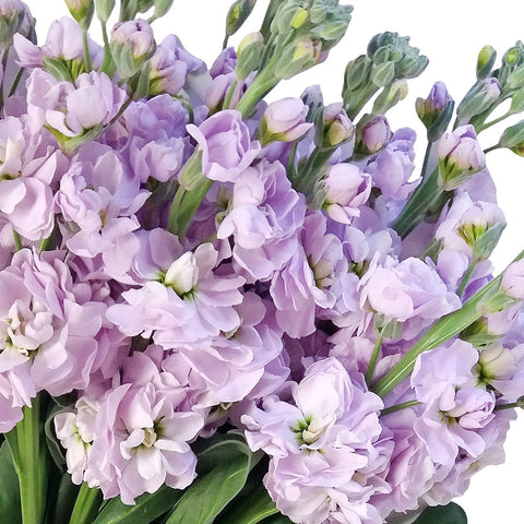 Stock Lavender (Pack 80 stems) - Bloomsfully Wholesale Flowers