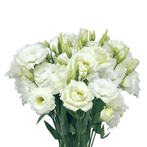 Lisianthus White Pack per 80 stems - Bloomsfully Wholesale Flowers