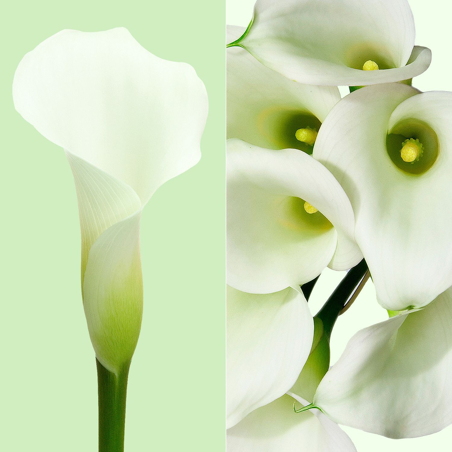 Mini Callas Crystal White (80 stems) - Bloomsfully Wholesale Flowers