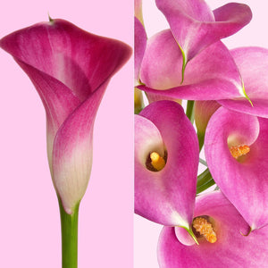 Mini Callas Garnet Glow (80 stems) - Bloomsfully Wholesale Flowers