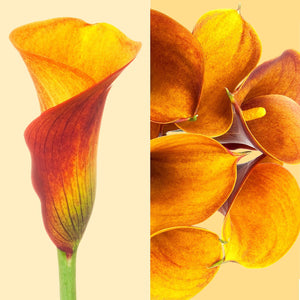 Mini Callas Orange Mango (80 stems) - Bloomsfully Wholesale Flowers