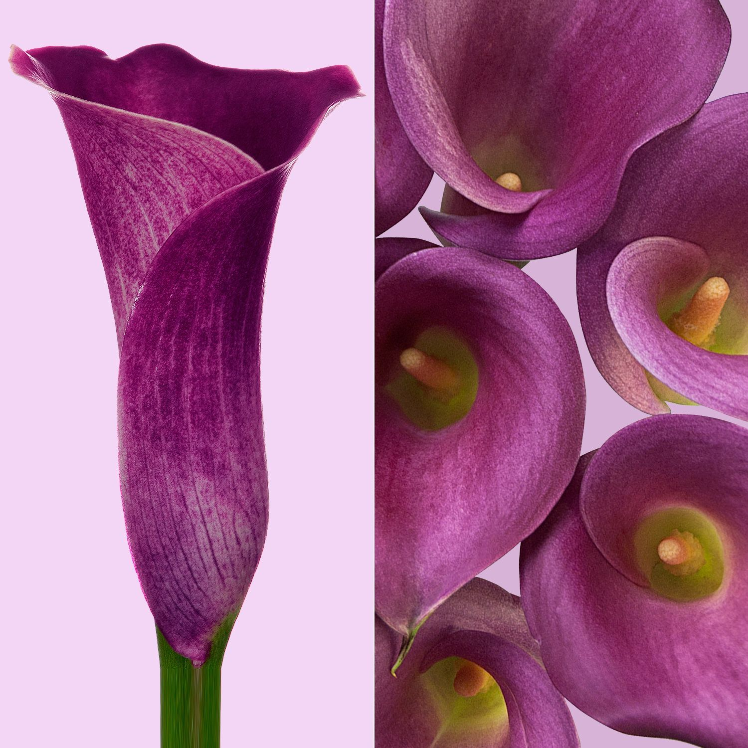 Mini Callas Ruby Lite White (80 stems) - Bloomsfully Wholesale Flowers