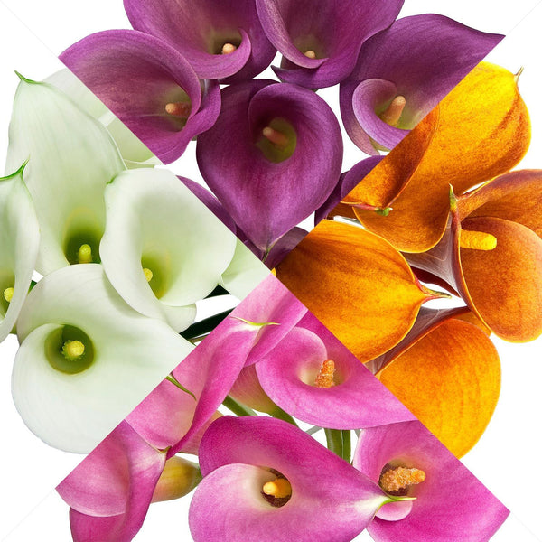 Mini Callas Assorted (80 stems) - Bloomsfully Wholesale Flowers