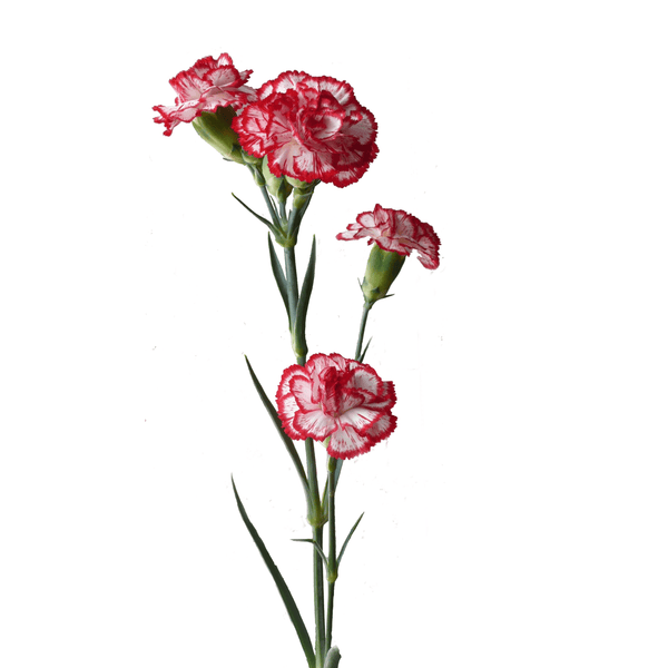 Spray Carnations Bicolor White & Red (200 stems) - Bloomsfully Wholesale Flowers