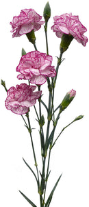 Spray Carnations Bicolor White & Purple (200 stems) - Bloomsfully Wholesale Flowers