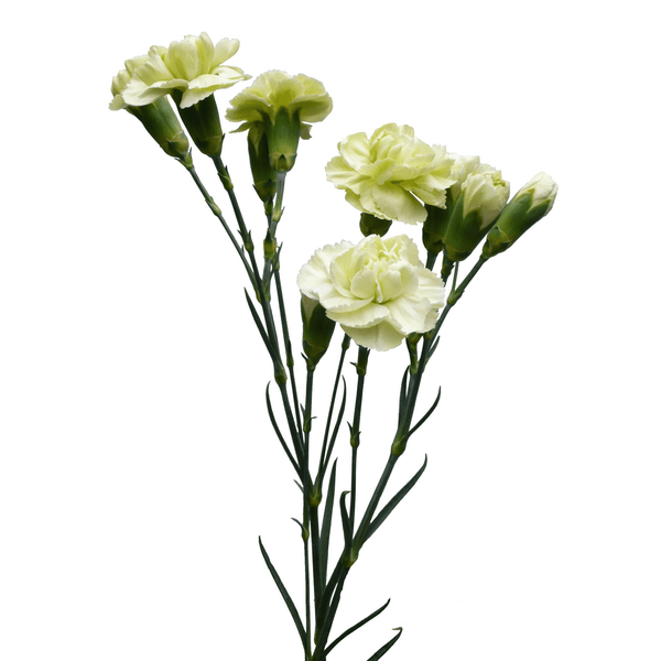 Spray Carnations Green (200 stems) - Bloomsfully Wholesale Flowers