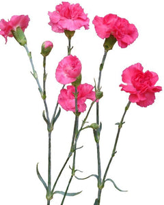 Spray Carnations Hot Pink (200 stems) - Bloomsfully Wholesale Flowers