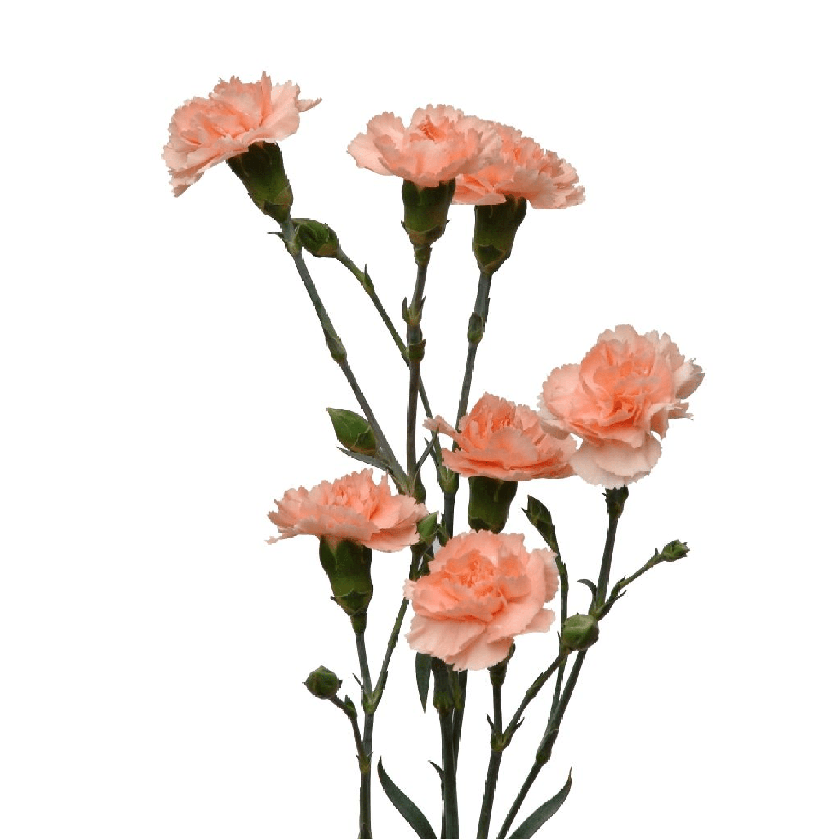 Spray Carnations Peach (200 stems) - Bloomsfully Wholesale Flowers