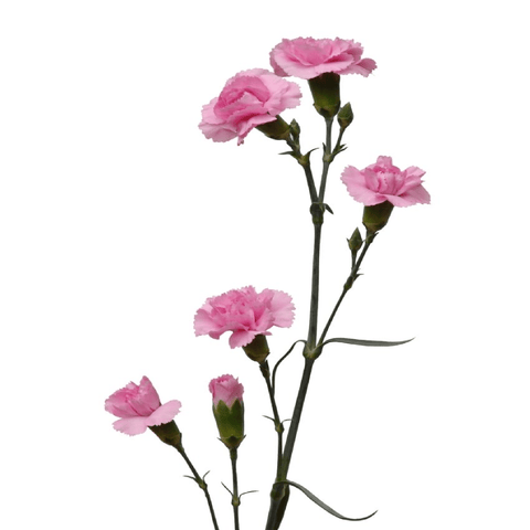 Spray Carnations Pink (200 stems) - Bloomsfully Wholesale Flowers