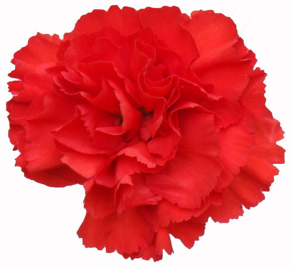 Spray Carnations RED (200 stems) - Bloomsfully Wholesale Flowers