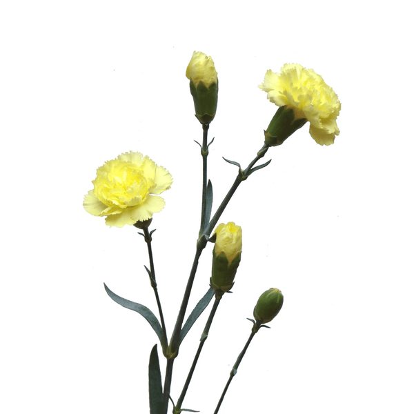 Spray Carnations Yellow (200 stems) - Bloomsfully Wholesale Flowers