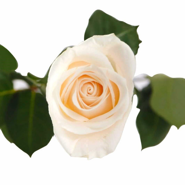 White Rose (25 Stems per Bunch) - Bloomsfully