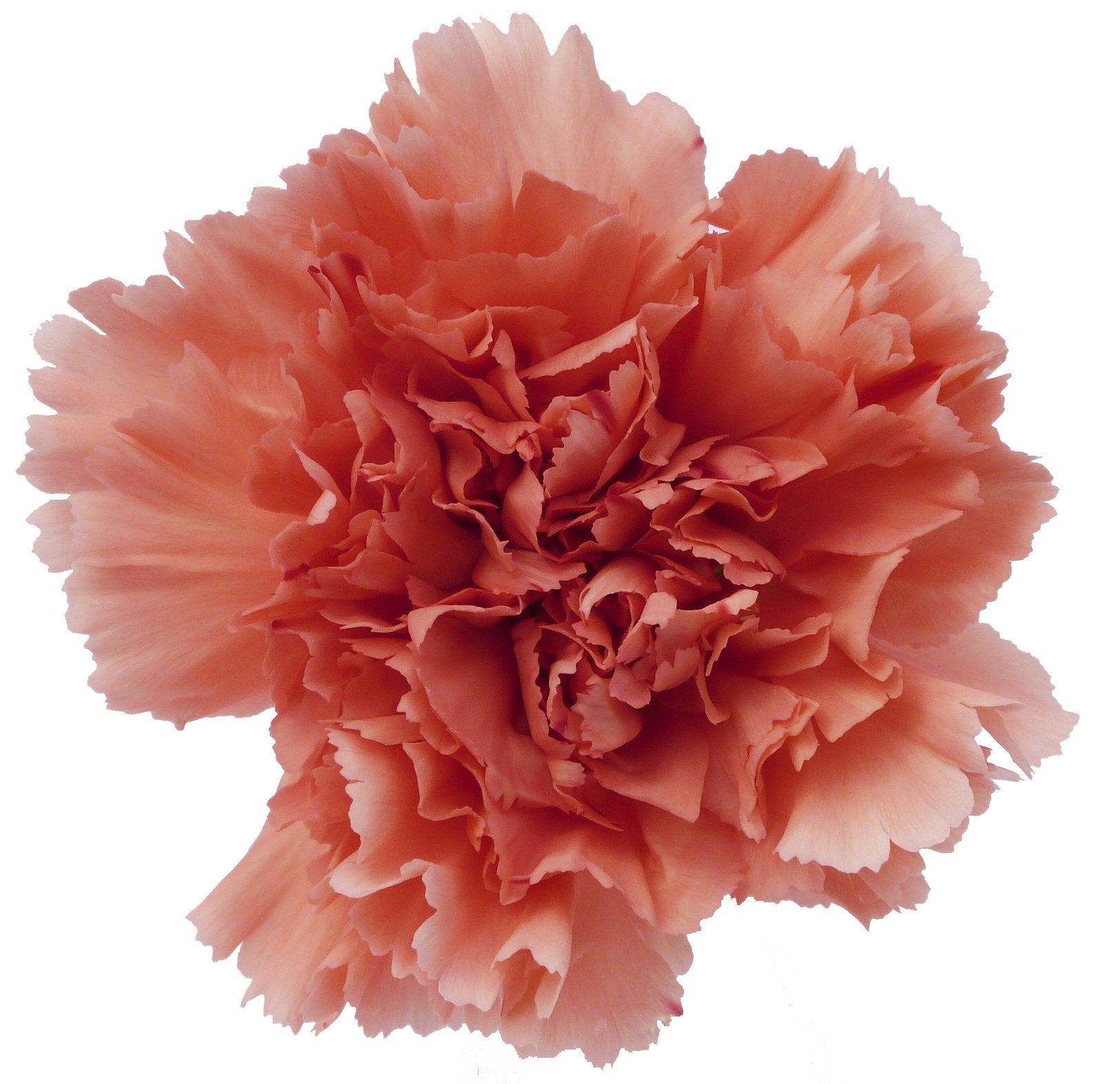 Carnations Orange (200 stems) - Bloomsfully Wholesale Flowers