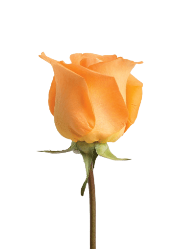 Orange Roses (25 Stems per Bunch) - Bloomsfully Wholesale Flowers
