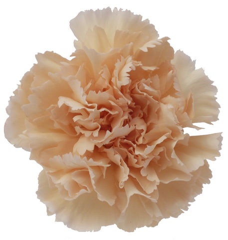 Carnations Peach (200 stems) - Bloomsfully Wholesale Flowers