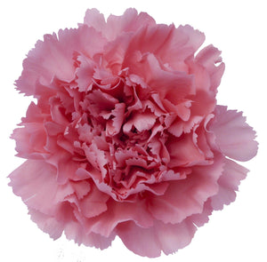 Carnations Pink (200 stems) - Bloomsfully Wholesale Flowers