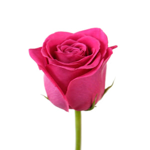 Hot Pink Roses (25 Stems per Bunch) - Bloomsfully Wholesale Flowers