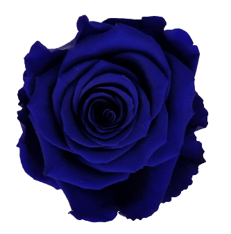 Preserved Roses Blue (Pack per 6 Blooms) - Bloomsfully Wholesale Flowers