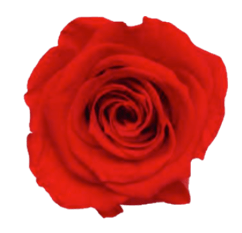 Copy of Preserved Roses Red (Pack per 6 Blooms) - Bloomsfully Wholesale Flowers