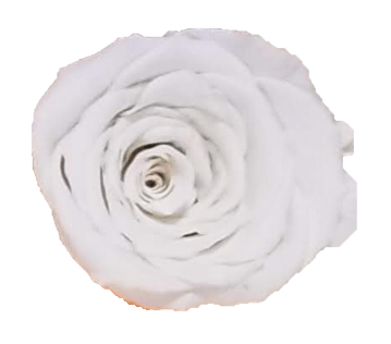 Preserved Roses White (Pack per 6 Blooms) - Bloomsfully Wholesale Flowers