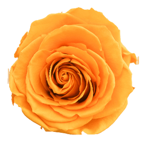 Preserved Roses Yellow (Pack per 6 Blooms) - Bloomsfully Wholesale Flowers