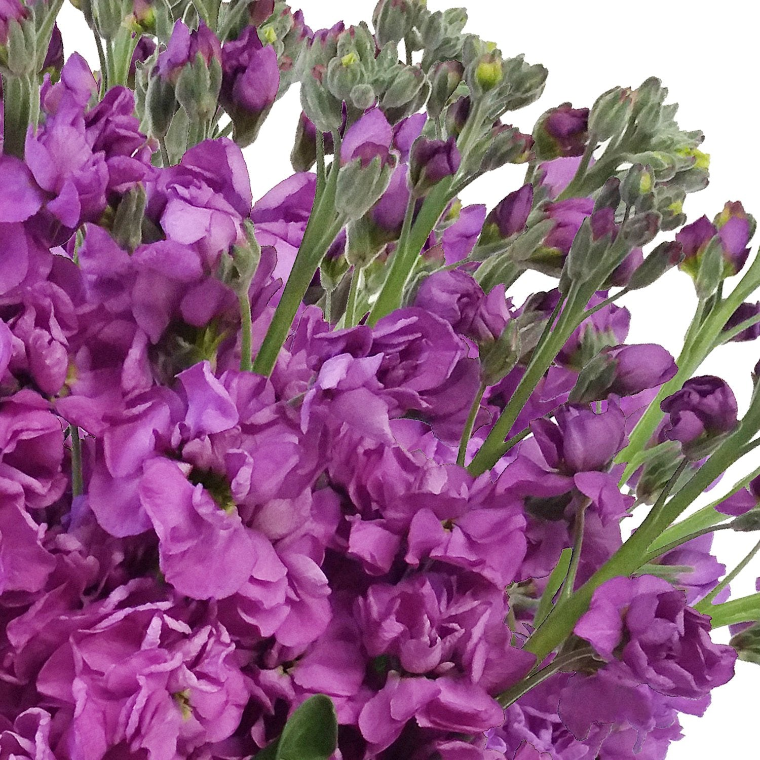 Stock Purple (Pack 80 stems) - Bloomsfully Wholesale Flowers
