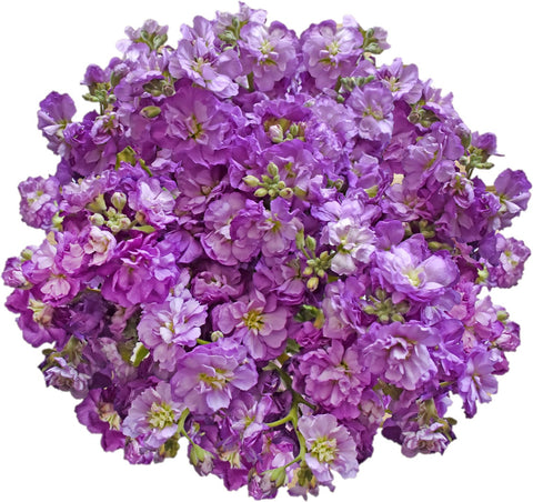 Spray Stock Purple Light (50 stems) - Bloomsfully Wholesale Flowers