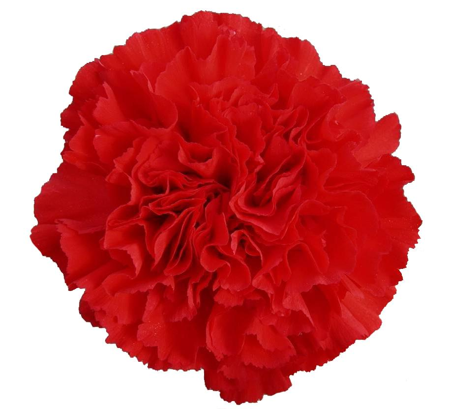 Carnations Red (200 stems) - Bloomsfully Wholesale Flowers