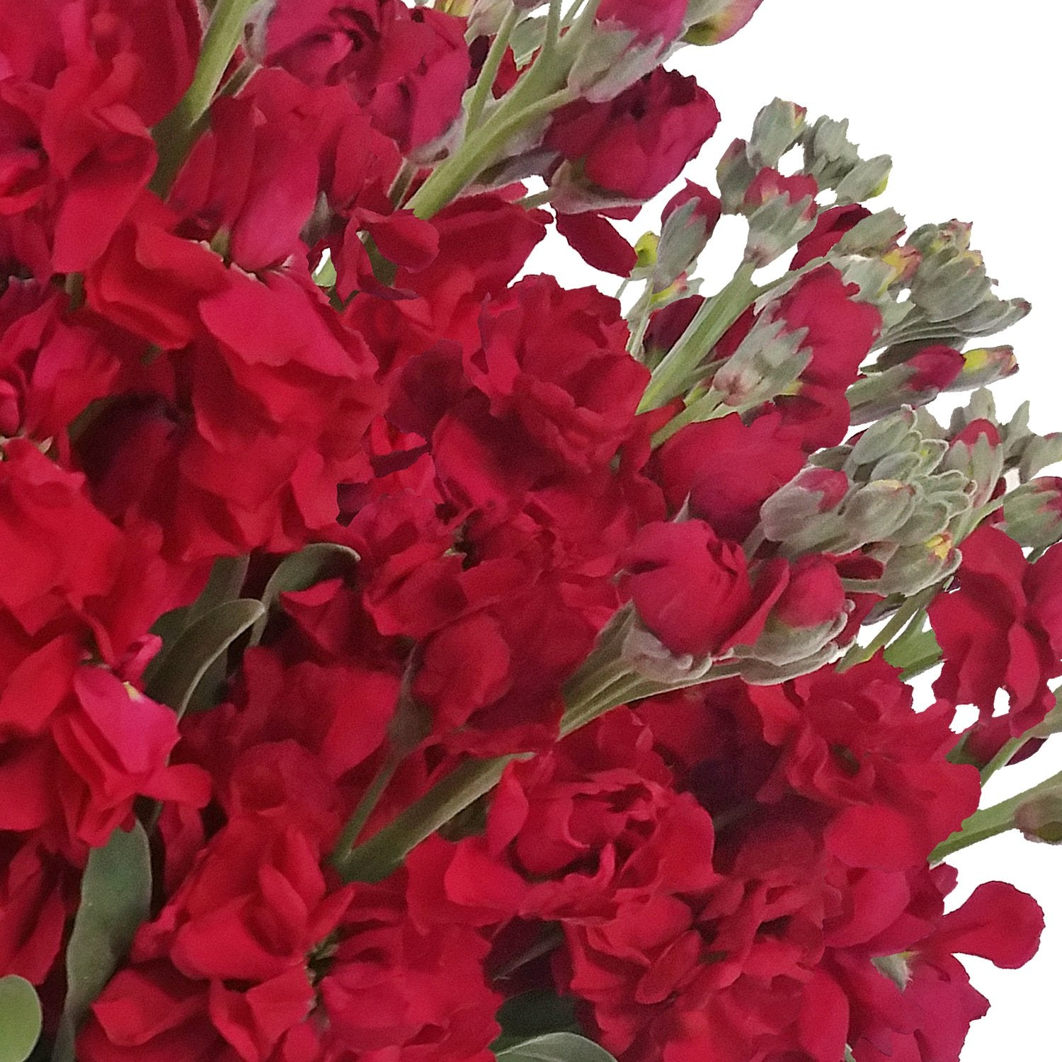 Stock Red (Pack 80 stems) - Bloomsfully Wholesale Flowers