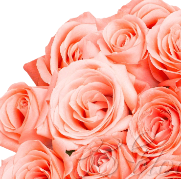 Salmon Roses (25 Stems per Bunch) - Bloomsfully Wholesale Flowers