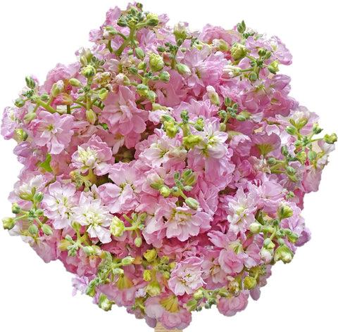 Spray Stock Light Pink (50 stems) - Bloomsfully Wholesale Flowers