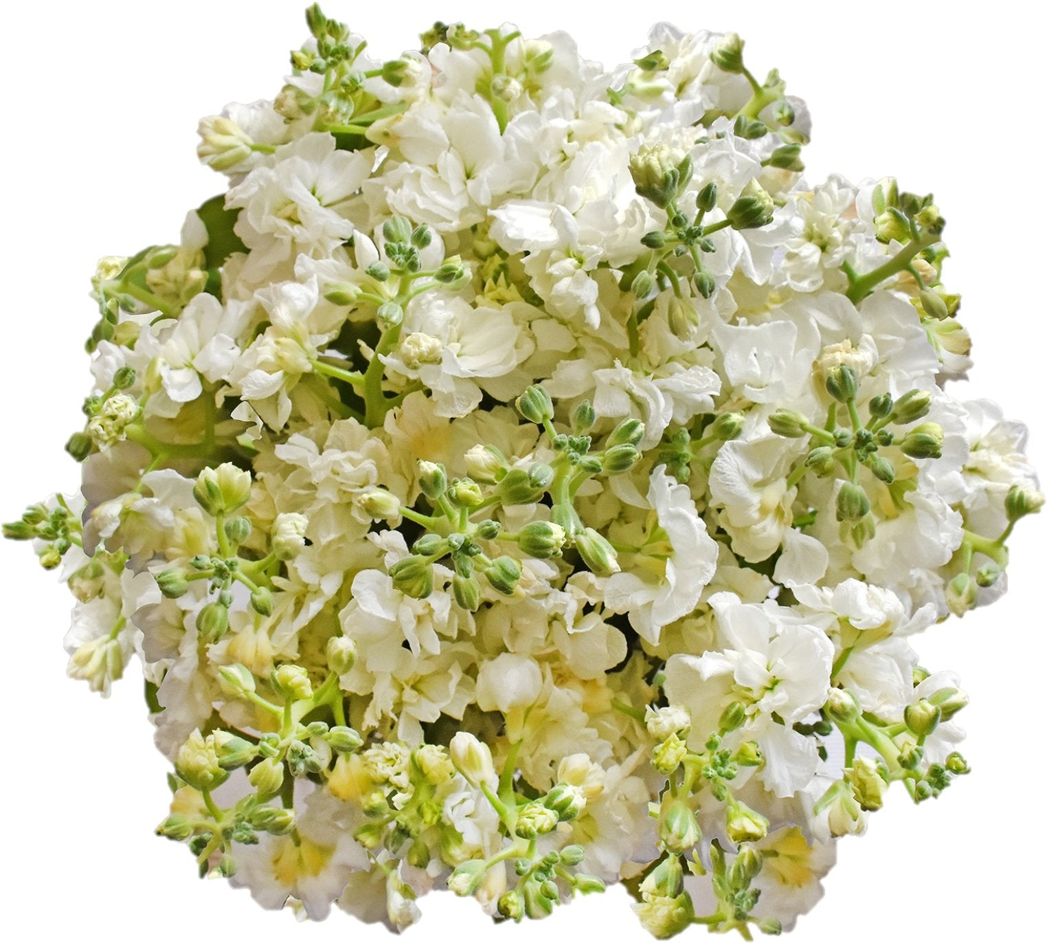 Spray Stock White (50 stems) - Bloomsfully Wholesale Flowers
