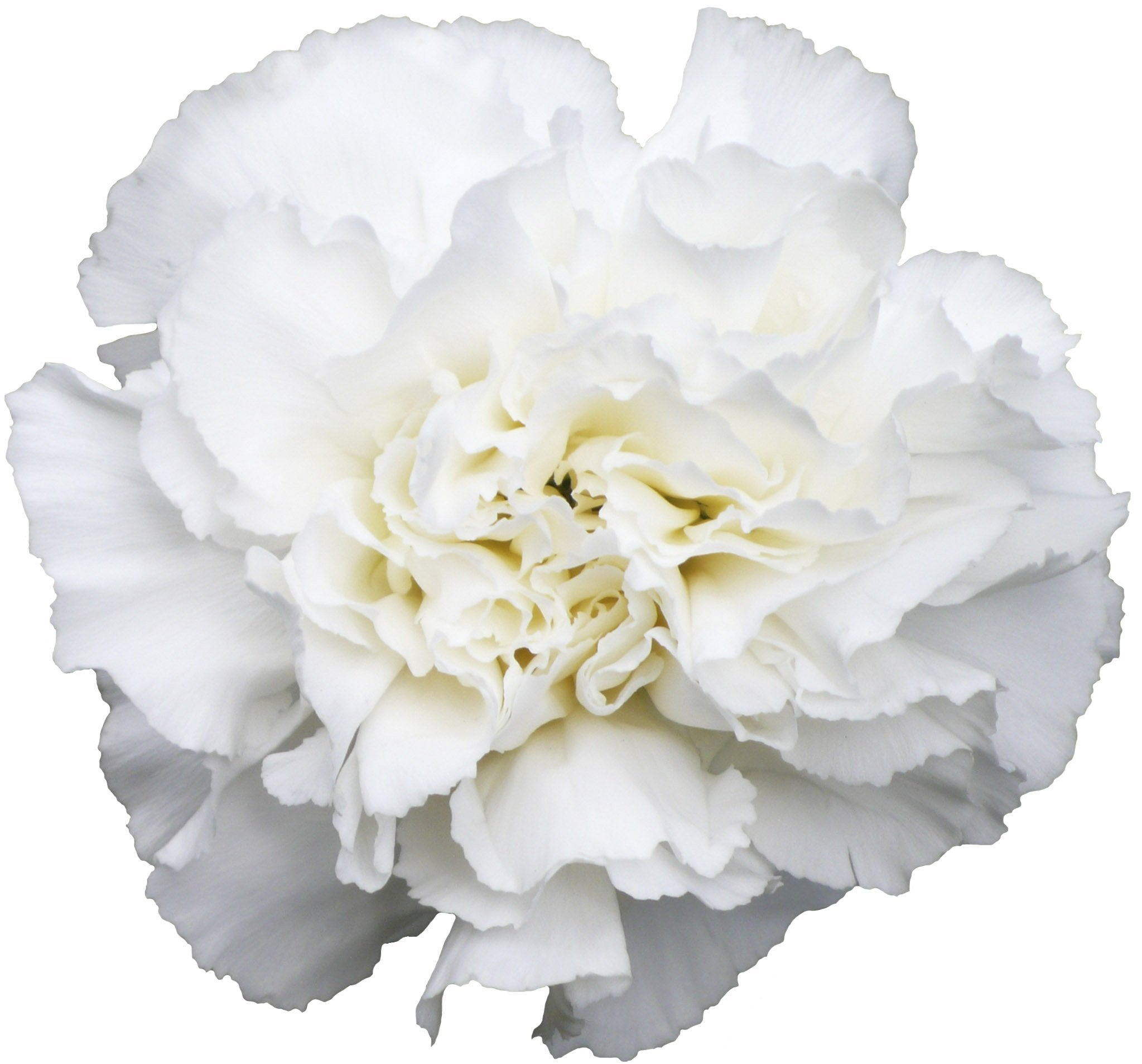 Carnations White (200 stems) - Bloomsfully Wholesale Flowers