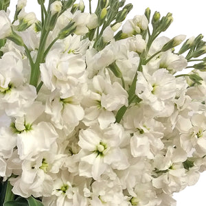 Stock White (Pack 80 stems) - Bloomsfully Wholesale Flowers