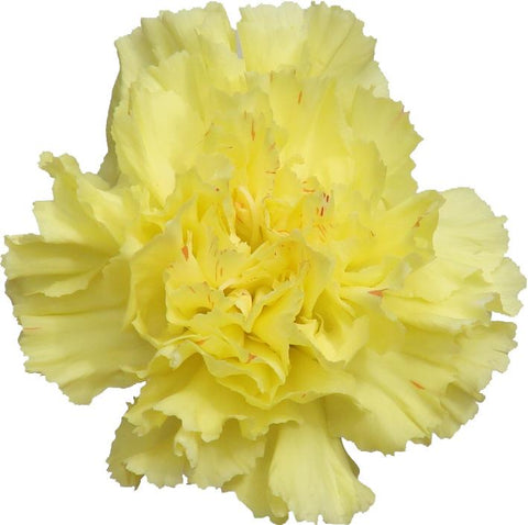 Carnations Yellow (200 stems) - Bloomsfully Wholesale Flowers