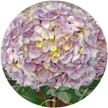 Hydrangeas Elite Lavender Select (30 Stems) - Bloomsfully Wholesale Flowers