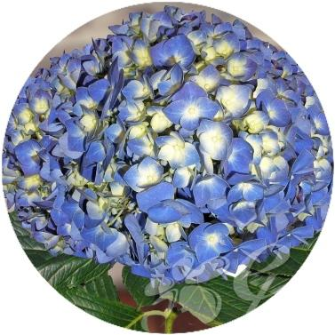 Hydrangeas Elite Shocking Blue (30 Stems) - Bloomsfully Wholesale Flowers