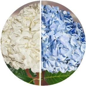 Hydrangeas White & Blue Assorted (30 Stems) - Bloomsfully Wholesale Flowers