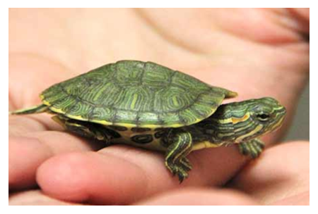 THINKING OF GETTING A PET TURTLE?