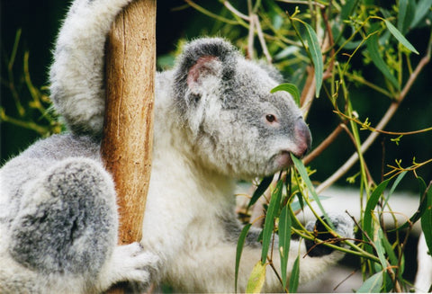 koala eating eucalyptus tree mosquito repellent