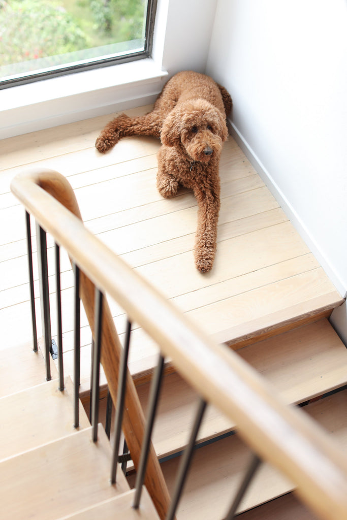 Brown standard poodle dog on wood floors in stairwell in Faunamade blog post