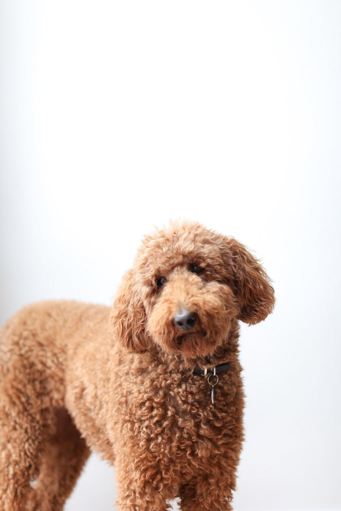 Brown standard poodle dog in Faunamade blog post