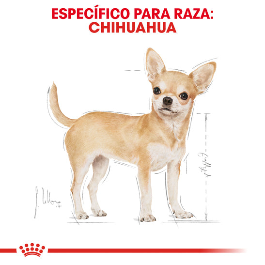 Chihuahua 28 Adult