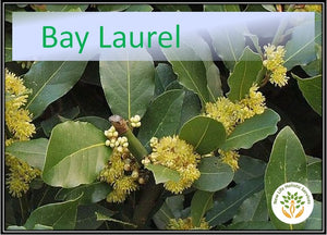 Bay Laurel - 5ml
