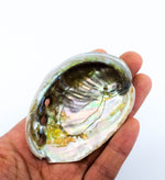 Mini Red Abalone Shell 2-3""